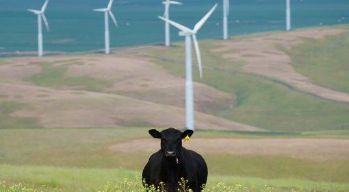 mucche inquinamento
