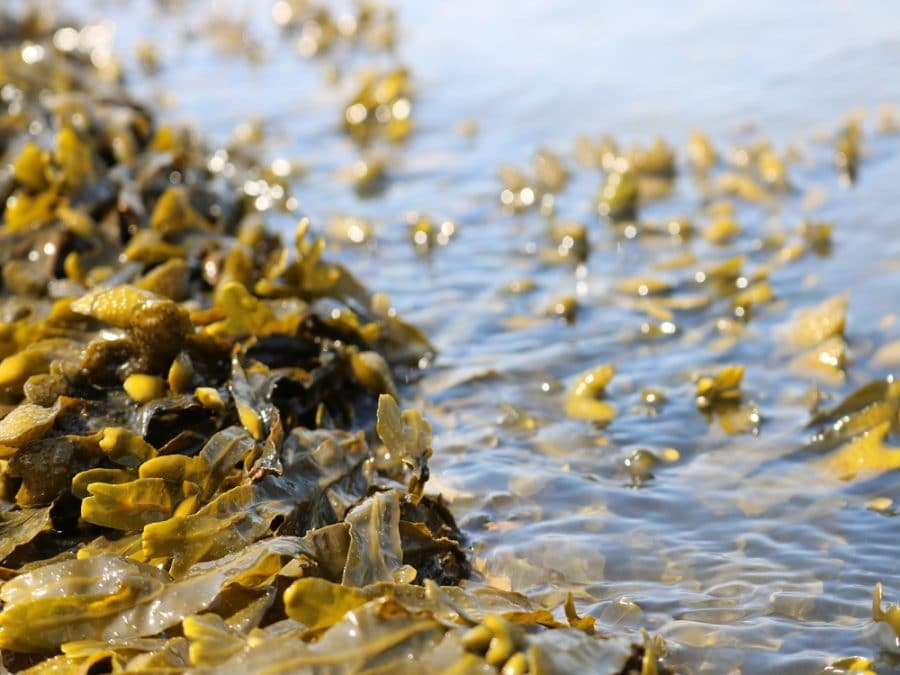 Alghe nel mare