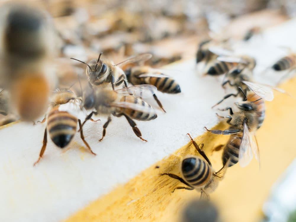 spiegare ai bambini importanza delle api